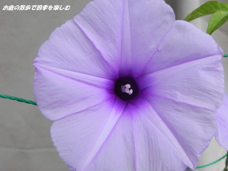 asagao3_20130721140328.jpg