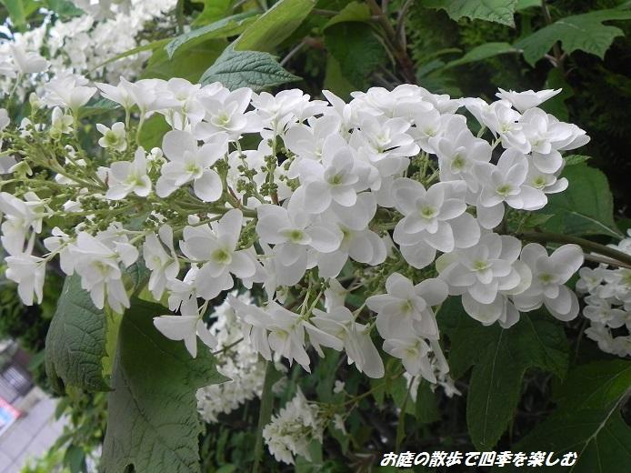 kasiwabaajisai2_20130615071652.jpg
