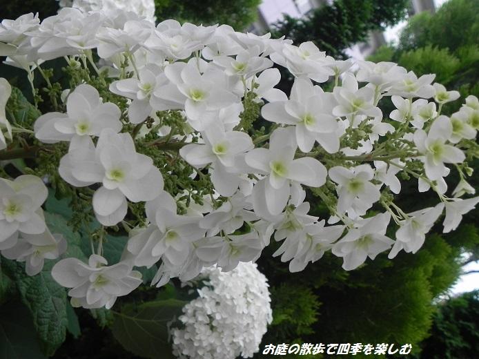 kasiwabaajisai3_20130615071653.jpg