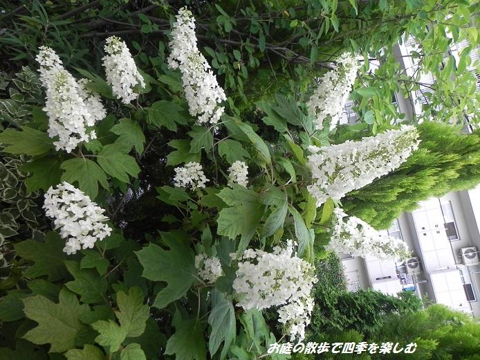 kasiwabaajisai4_20130615071649.jpg