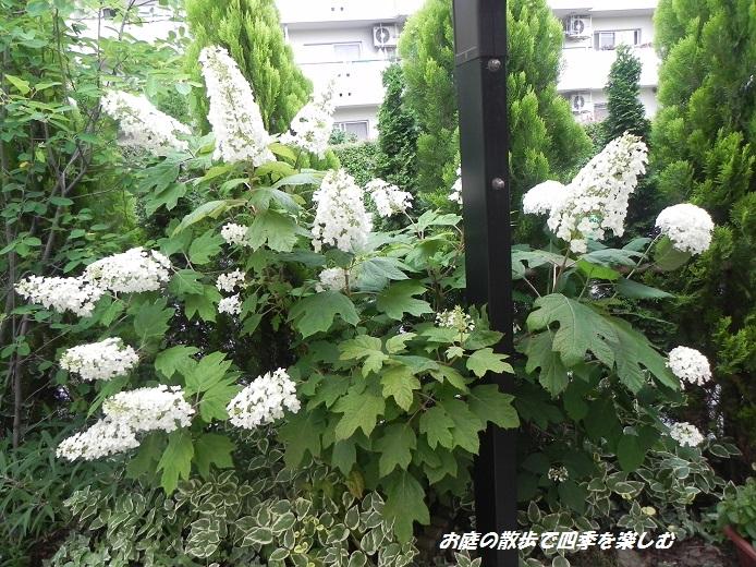 kasiwabaajisai_20130615071650.jpg