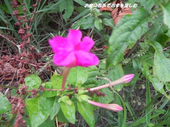 osiroibana_20130908084448130.jpg