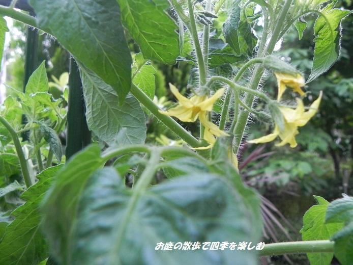 tomato2_20130616104649.jpg