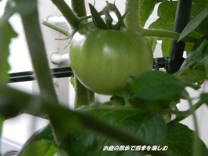 tomato5_20130708203549.jpg