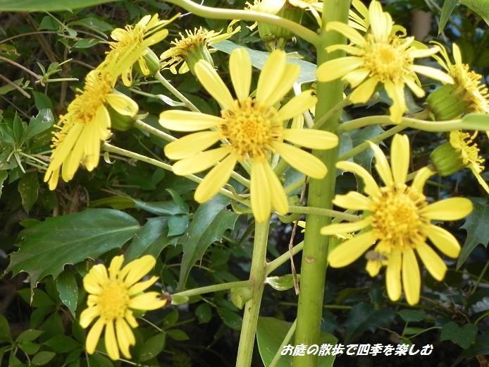 tuwabuki2_2013110706505656f.jpg