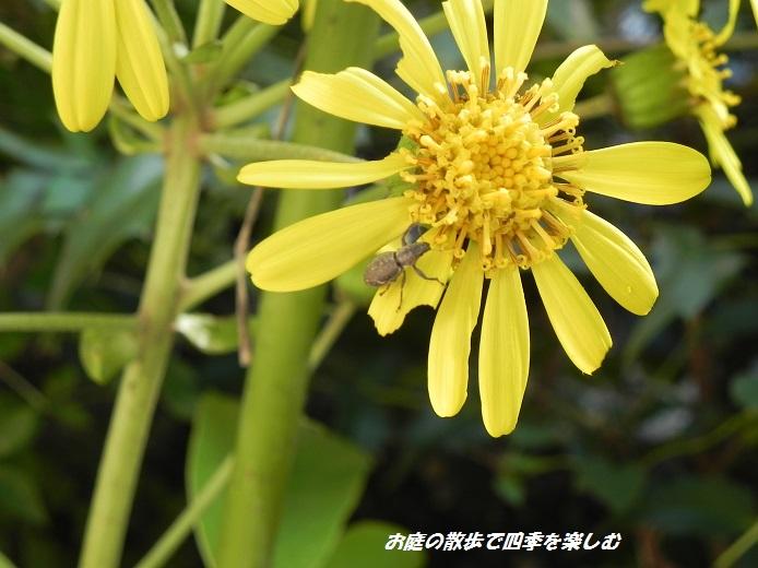 tuwabuki4_20131107065053c7f.jpg
