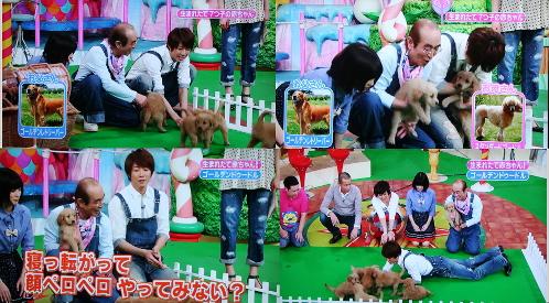 ゴールデンドゥードルの子犬 天才!志村どうぶつ園に出演 BABYBOO犬舎