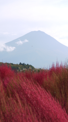 コキアと富士山1