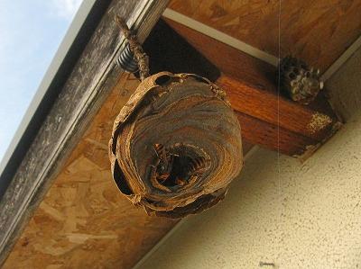 スズメバチの巣 (3)
