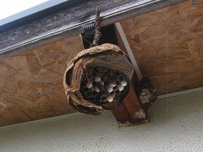 スズメバチの巣 (2)