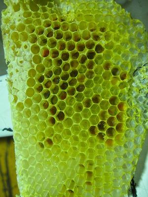 ミツバチ (5)