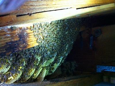 ミツバチ (3)