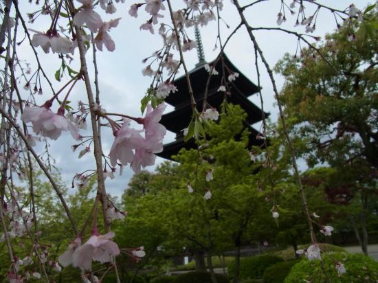 東寺の塔と桜