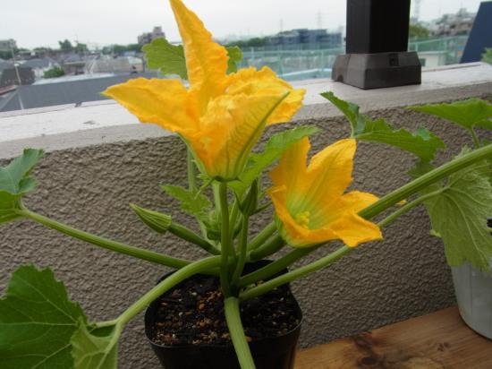 ズッキーニに花