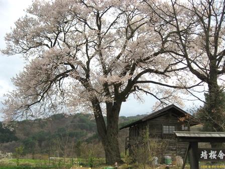 大きな桜と家