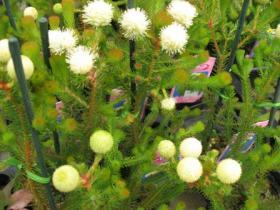 不思議な丸い花