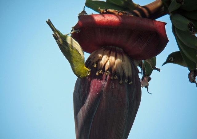バナナの花に来たメジロ1