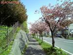 Cherry Blossoms ?