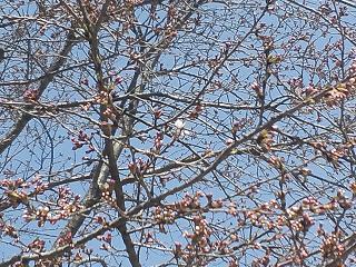 11-04-17-2桜