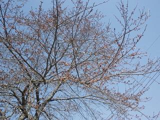 11-04-17-1桜