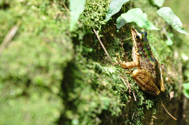 大屯瀑布のカエル