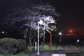 桜紀行2011(13)