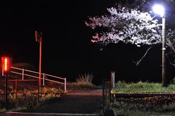 桜紀行2011(14)