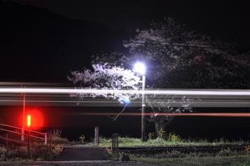 桜紀行2011(15)