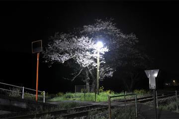 桜紀行2011(16)