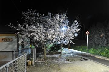 桜紀行2011(19)