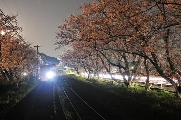 桜紀行2011(32)