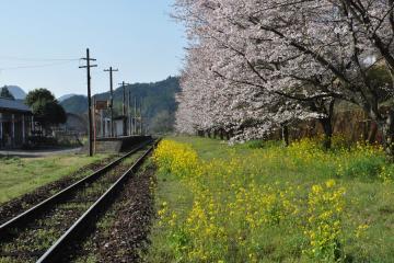 桜紀行2011(33)