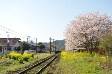 桜紀行2011(36)