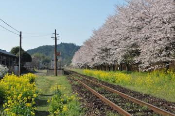 桜紀行2011(38)