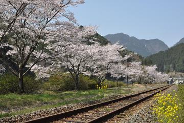 桜紀行2011(46)