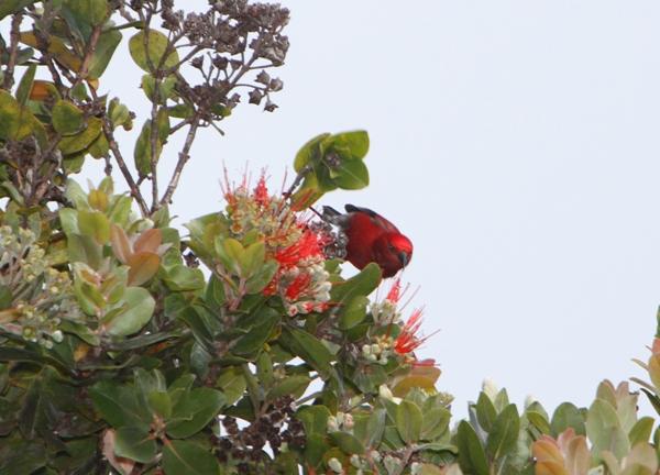 Kauai Apapane