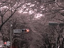 桜2011040905