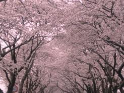 桜2011040904
