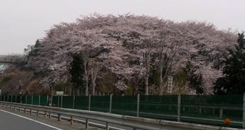 桜20110422001