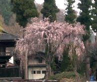 桜20110422002