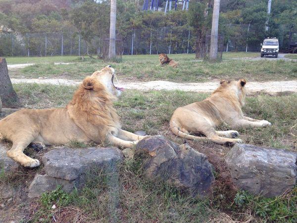 雄ライオンさん
