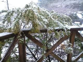 080203雪_ミモザ