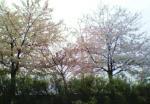 雨の中での河川敷の桜
