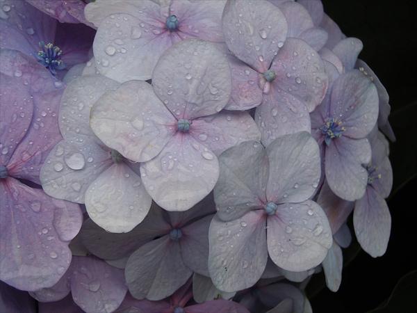 今年の紫陽花(c)chocojiro