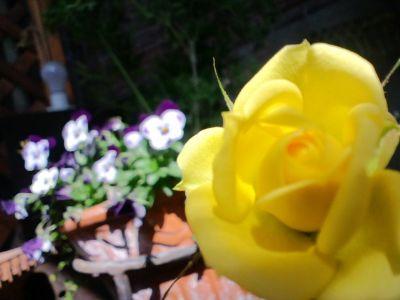 ベランダの薔薇20110227 2_400