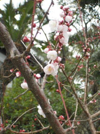 高台寺・知恩院20110311 004_450
