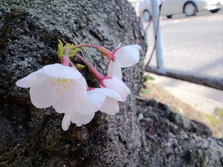 大仙通りの桜20110401_450