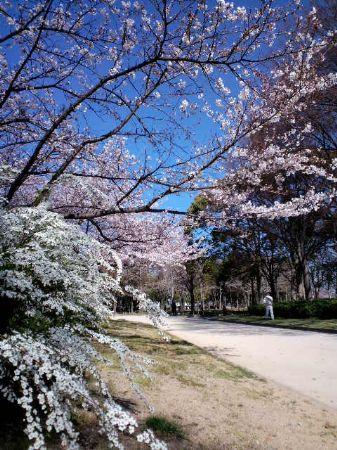 大仙公園桜20110404_450