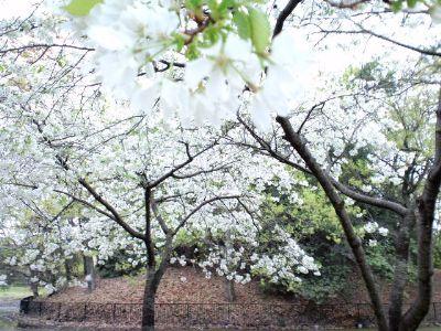 大仙公園の桜20110416_400