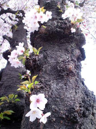 大仙公園の桜20110416 2_450